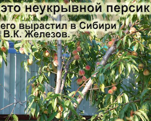 Персик в сибири выращивание 87